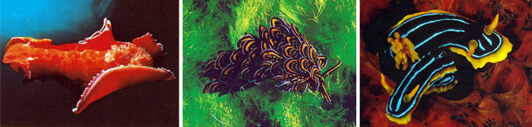 colourful-seaslugs