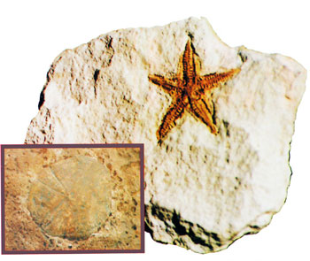 fossilized-starfish-jellyfish