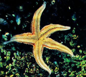 living-starfish