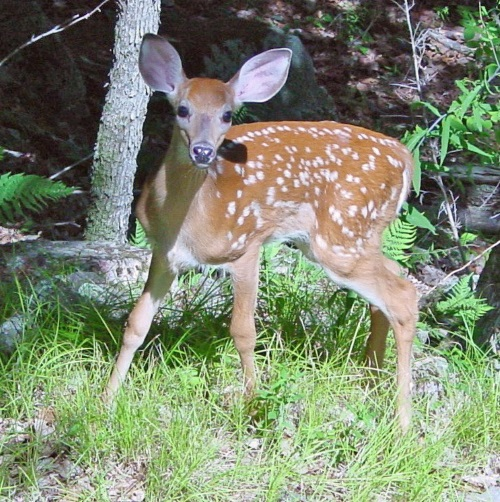 Fawn_in_Forest