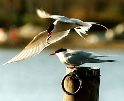 arctic-tern