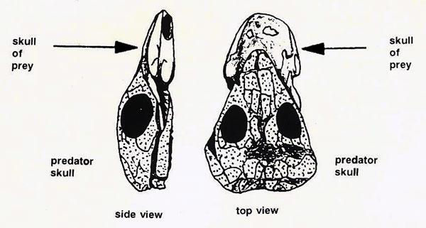 predator-skull