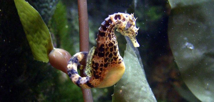 shortsnout-seahorse