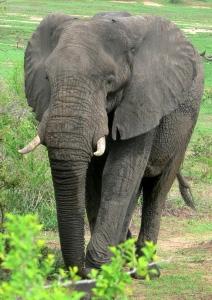 1001-elephant