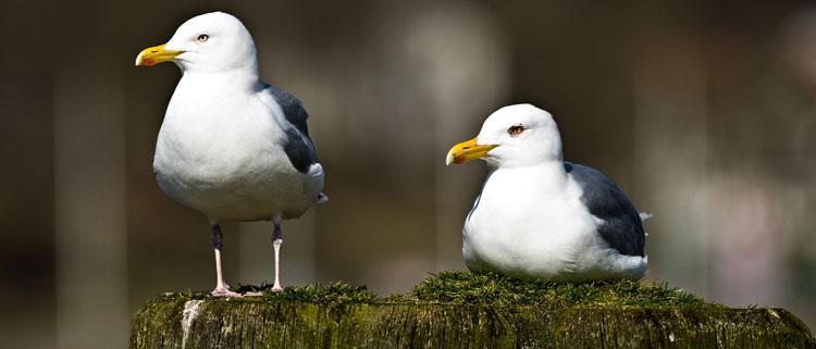 1001-seagulls