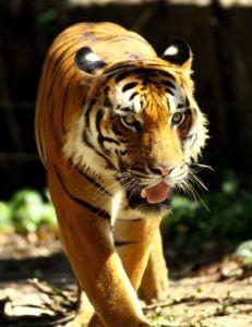 1001-tiger