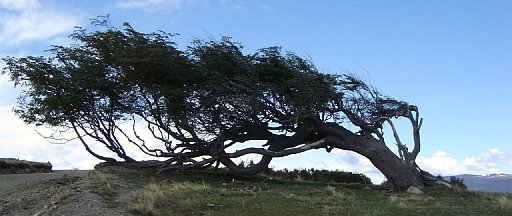 windswept-tree