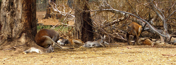wikipedia.org mob-of-red-kangaroos