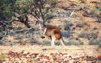 red-kangaroo
