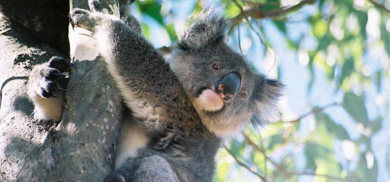 1302-koala-breeze