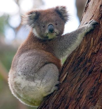 1302-koala-climbing