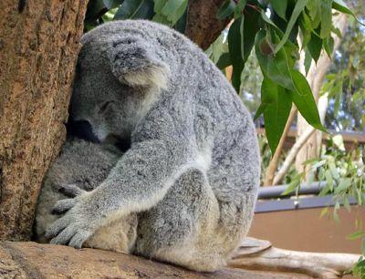 1302-koala-cuddles