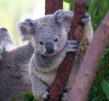 1302-koala-joey-cute