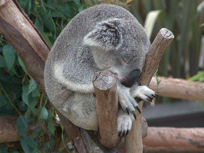1302-koala-nap