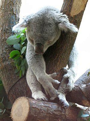 1302-koala-sleeping