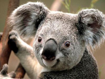 1302-koala-smile