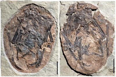 pterosaur-fossil-embryo