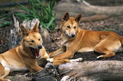 Dingo Facts  The Dingo and Dingoes in Australia