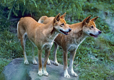 The Australian dingo a wolf in dogs clothing - creation.com