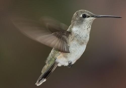 Hummingbird_Archilochus-alexandri