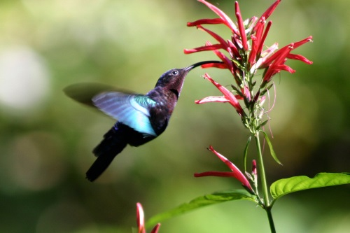 Purple-throated_carib_hummingbird