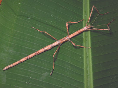 stick-insect-no-wing