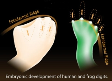 3271-embryonic-development