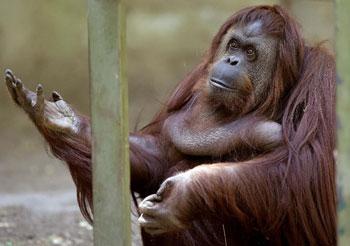sandra-orangutan
