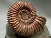 Ammonite-fossil
