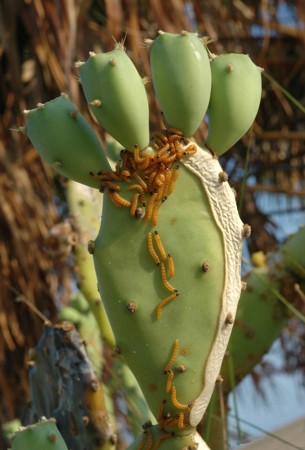 Larvaefeedingoncacti