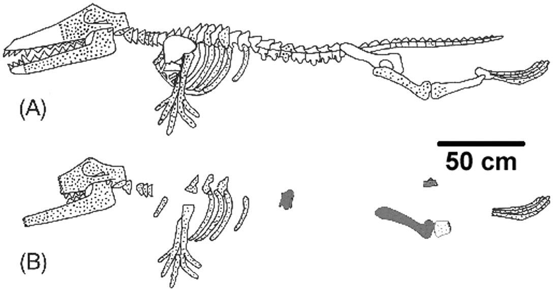 3834-ambulocetus-bones
