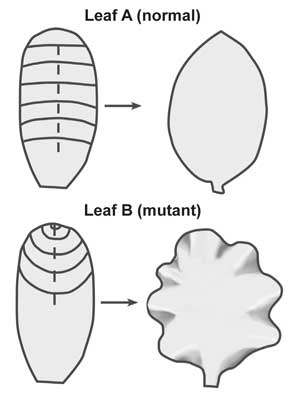 4274-leaf-diagram