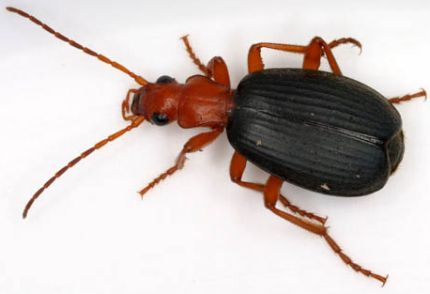 bombadier-beetle
