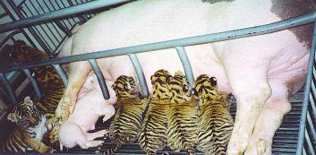 pig-tiger-cubs