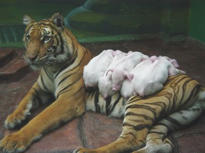 tiger-piglets