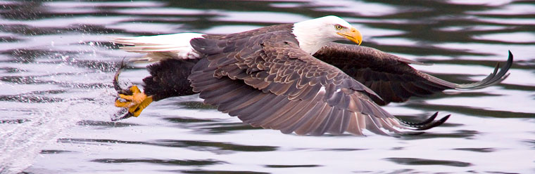 gliding-eagle