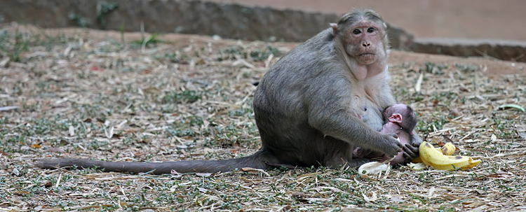 crab-eating-macaque