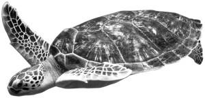 5579-turtle