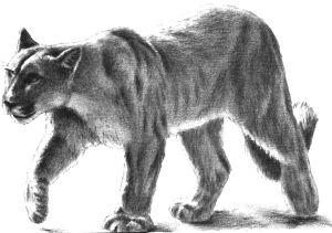 5580-snow-leopard