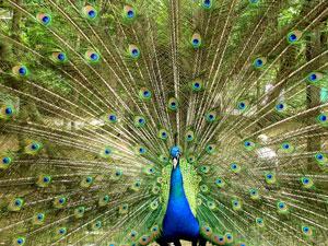 5714-peacock