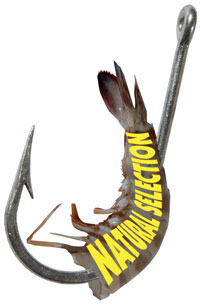 6112-bait-hook-with-prawn