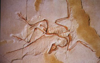 6199-archaeopteryx-fossil