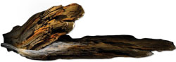 walnut log