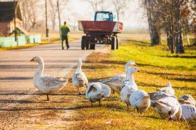6795-geese-road