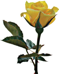 flower-single-yellow-rose
