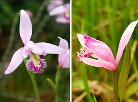 'Pogonia' from the web at 'https://dl0.creation.com/articles/p075/c07550/Pogonia.jpg'