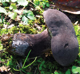 'Tylopilus' from the web at 'https://dl0.creation.com/articles/p075/c07550/Tylopilus.jpg'