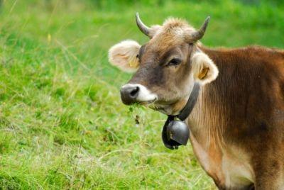 7585-cow
