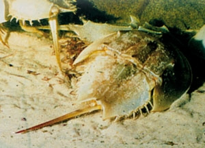 8227-horseshoe-crab
