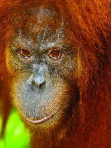 8387-orangutan